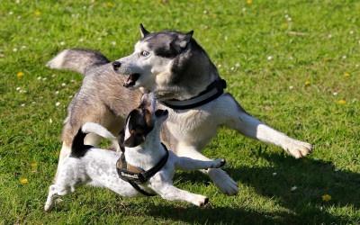 Warum Spielstunden/Hundewiesen meist kein Spaß für Hunde sind